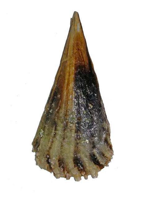 مشاهده گونه ای صدف نایاب در نایبند